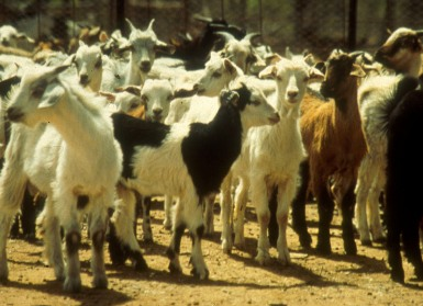 flock of goats